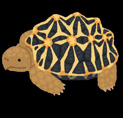 インドホシガメのイラスト