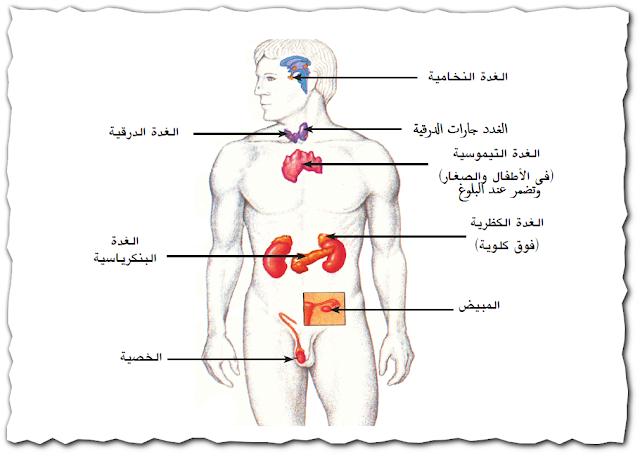 الغدد الصماء فى جسم الإنسان