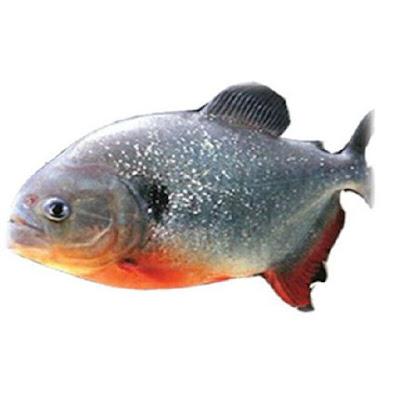 Peluang Bisnis Usaha Budidaya Ikan Bawal dengan Analisa Lengkap