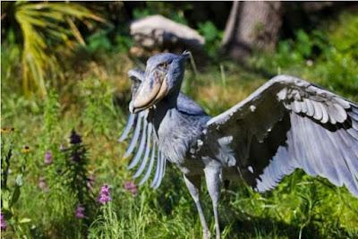 Burung Shoebill - Sekitar Dunia Unik