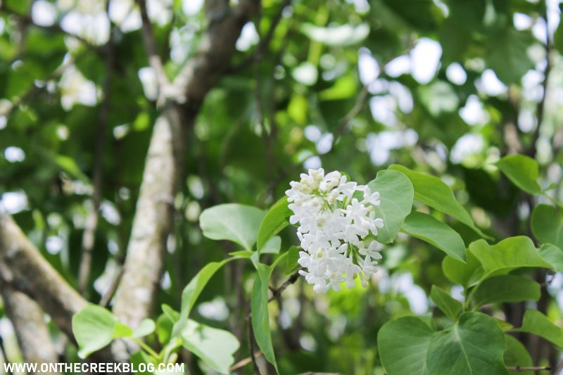White lilac flowers!