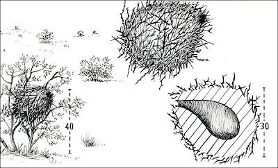 Canastero coludo Asthenes pyrrholeuca