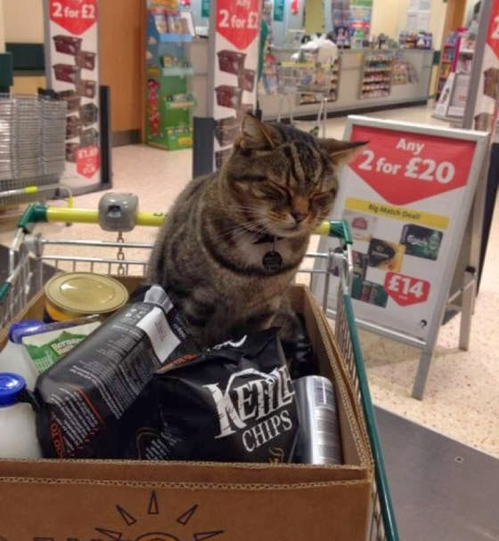 Morrison's supermarket cat Saltney