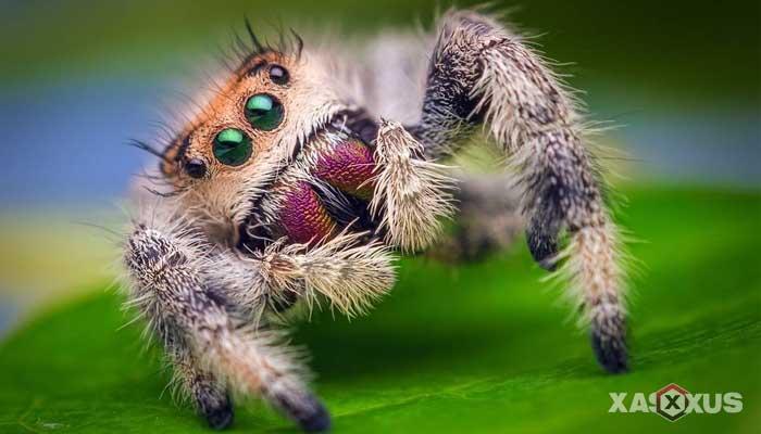 Hewan yang berkembang biak dengan cara bertelur - Laba-laba
