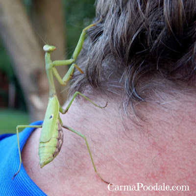 Praying mantis on persons neck