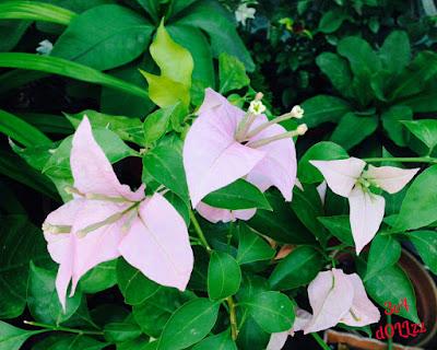 Bougainville. Bunga Kertas, Tanaman Hias Terpopuler. Bugenvil.