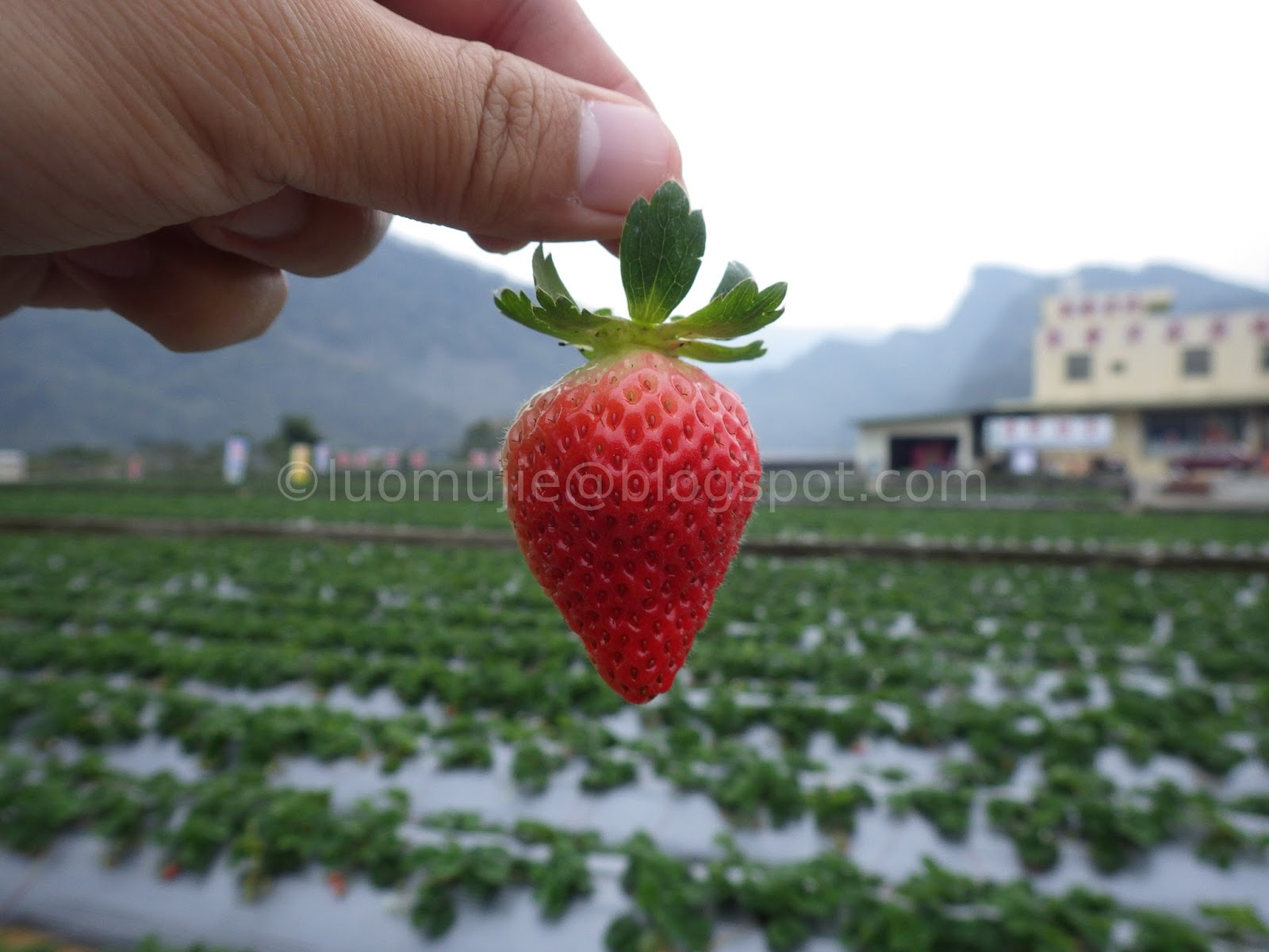 Miaoli Dahu strawberry picking