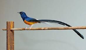 adalah salah satu burung yang sedang marak dipelihara  Gaya Bertanding Murai Batu Sumatera dan Borneo
