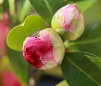 Botão de Camélia - Camellia japonica