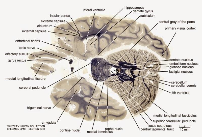 Human Brain LabeledLabeled Inside Brain Model