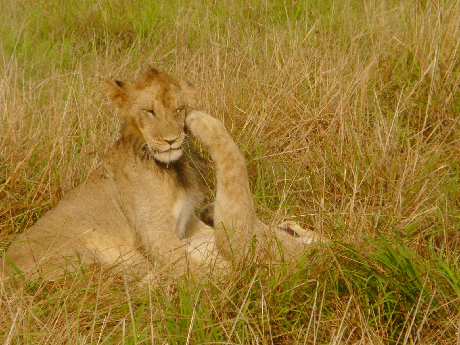 Man on safari gets eaten alive by lions in Angola in front ...  Man Eaten By Lion In Front Of Family