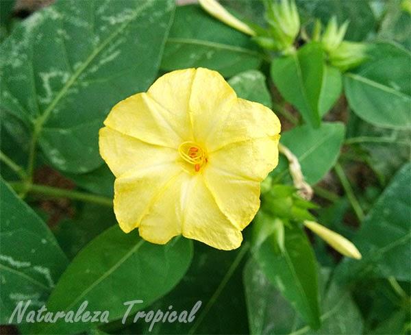 Variedad amarilla de una flor del género Mirabilis
