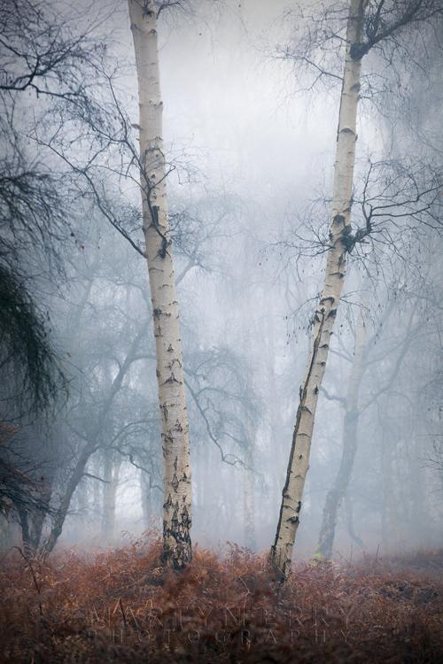Holme Fen silver birch trees in the winters mist