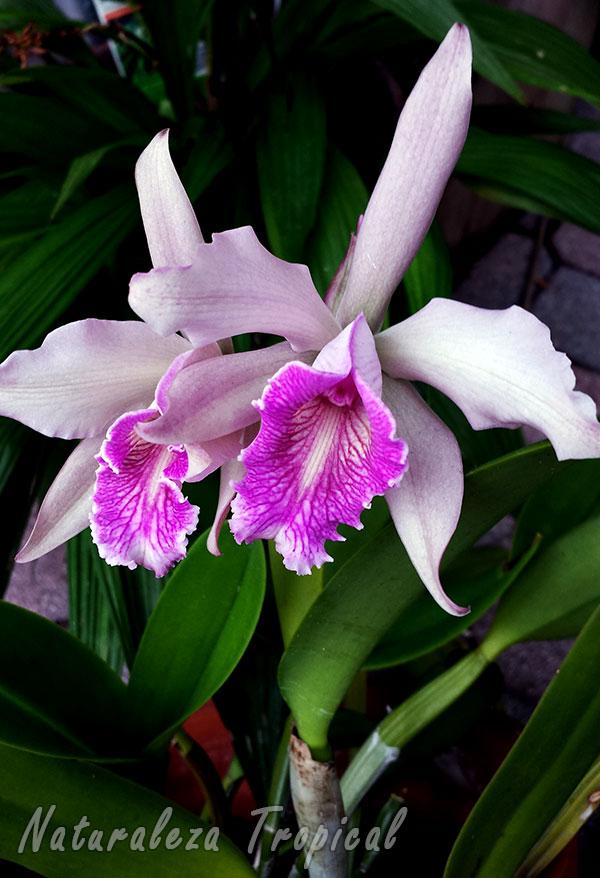 Orquídea tropical florecida