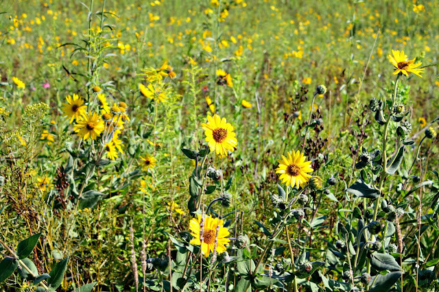 Prairie flowers at Casper Bluff.