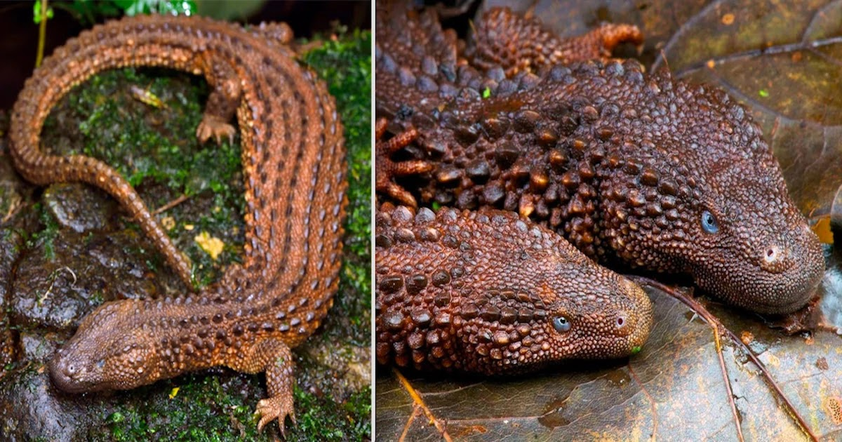 Meet The Borneo Earless Monitor, The Rarest Of the Lizard Species That Looks Like A Dragon