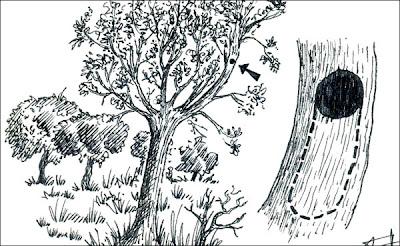 Carpintero oliváceo chico Veniliornis passerinus