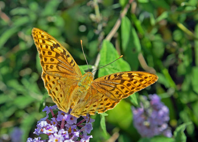 Buy artwork of Balkan Fritillary Butterfly