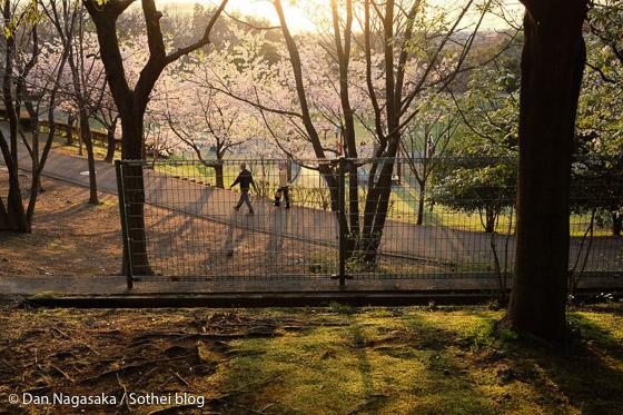 王禅寺ふるさと公園の玉縄桜