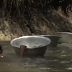 Watch how students swim across two rivers to attend classes in Ghana...video