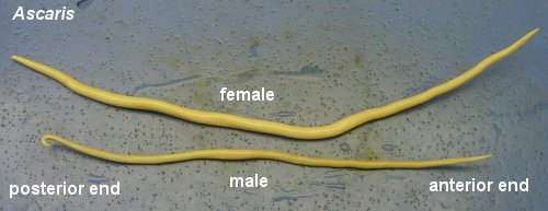 Biology of Animals: Ascaris sp.
