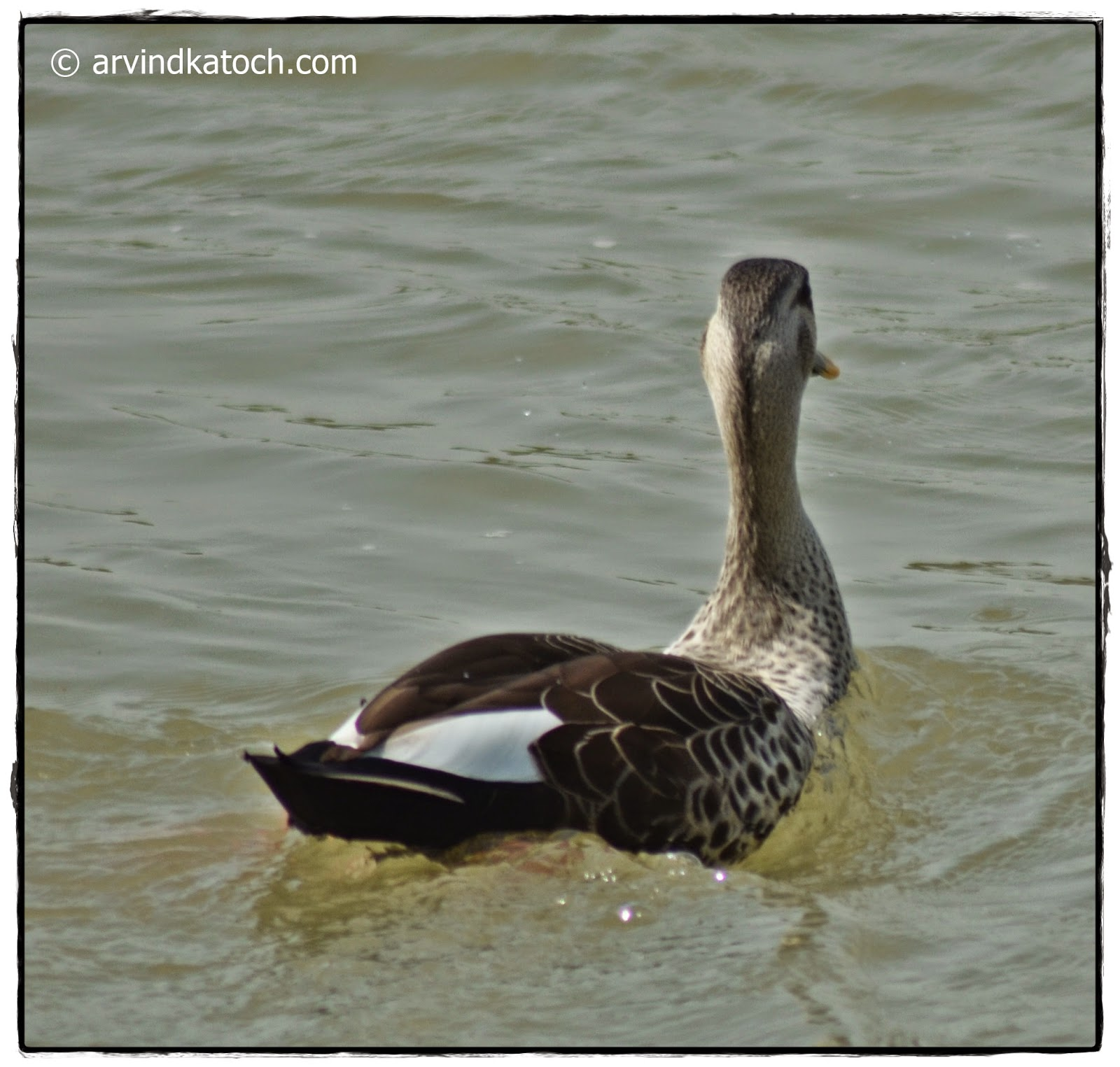Spot-billed Duck, Floating,