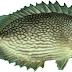 Umpan Jitu Mancing Ikan Baronang Lebam Dan Ikan Kiper