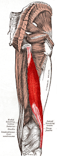 biceps femoris muscle, anatomy, muscle picture