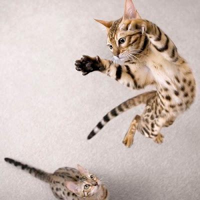 Bengal Cats Play