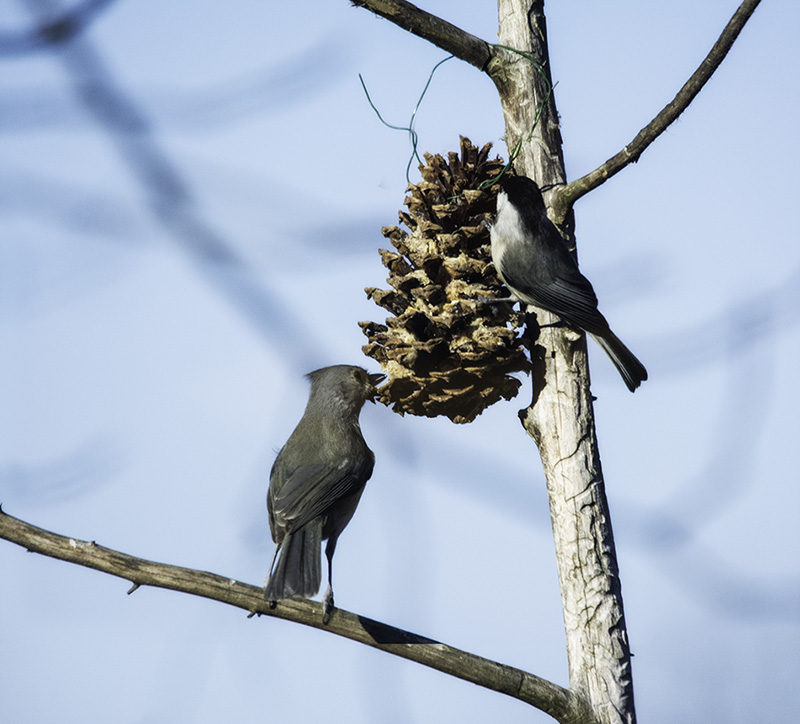 Tufted Titmouse and Carolina Chickadee on suet