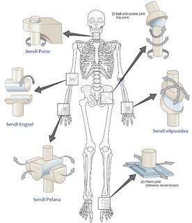 Persendian Dalam Sistem Rangka Tubuh Manusia - berbagaireviews.com