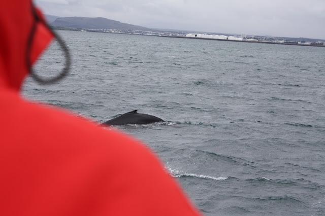 Minke whale in Iceland