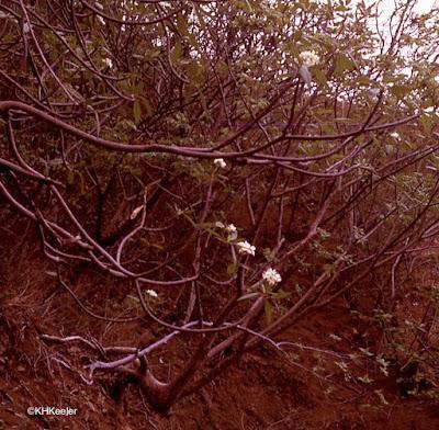 wild frangipani, Costa Rica 1973