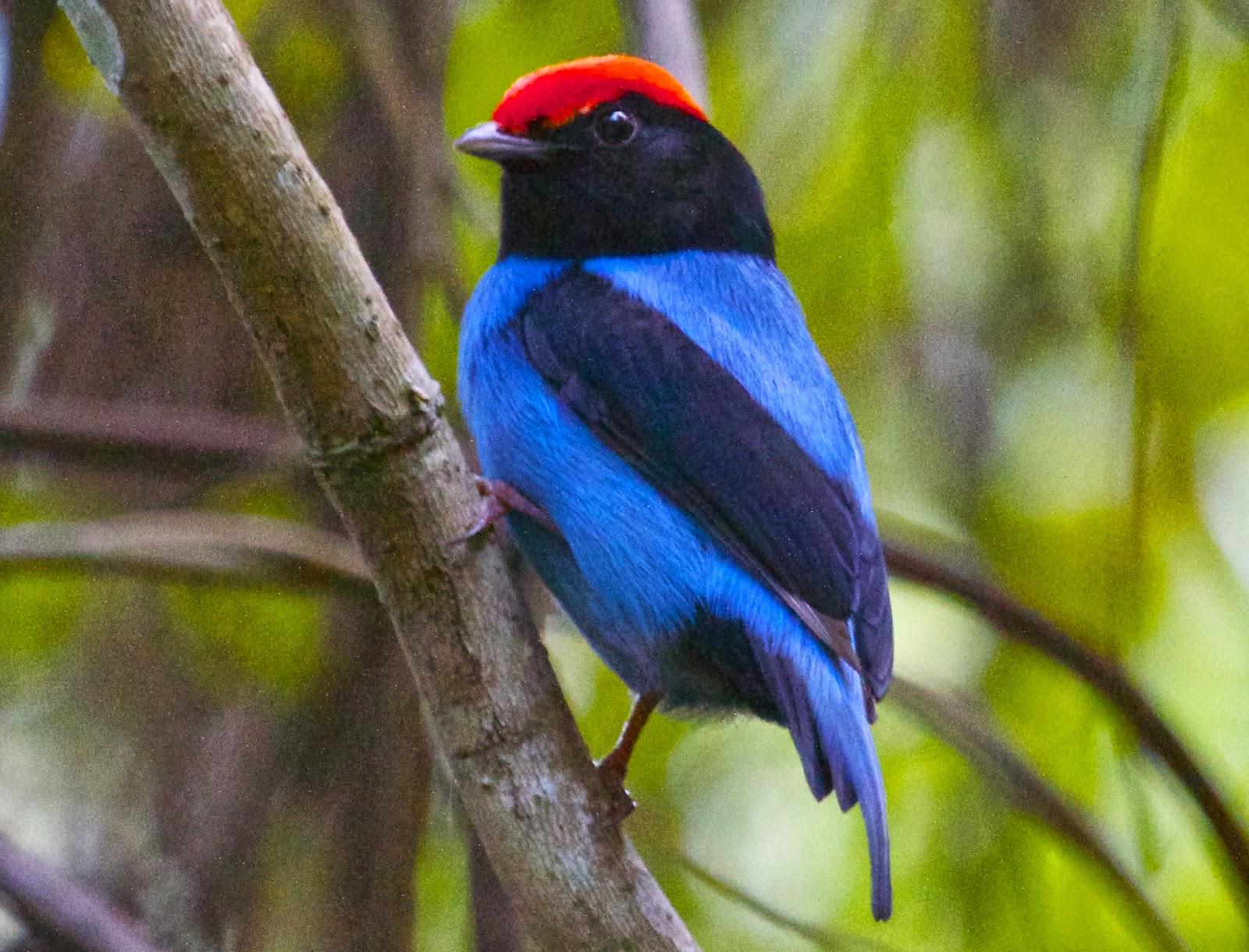 Pássaro Tangará (Chiroxiphia caudata)