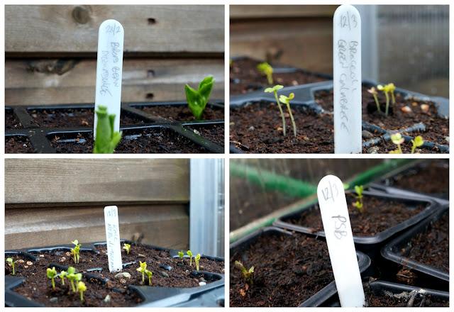 seedlings ~ growourown.blogspot.com ~ an allotment blog