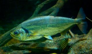 Harga ikan hias Vampire Tetra