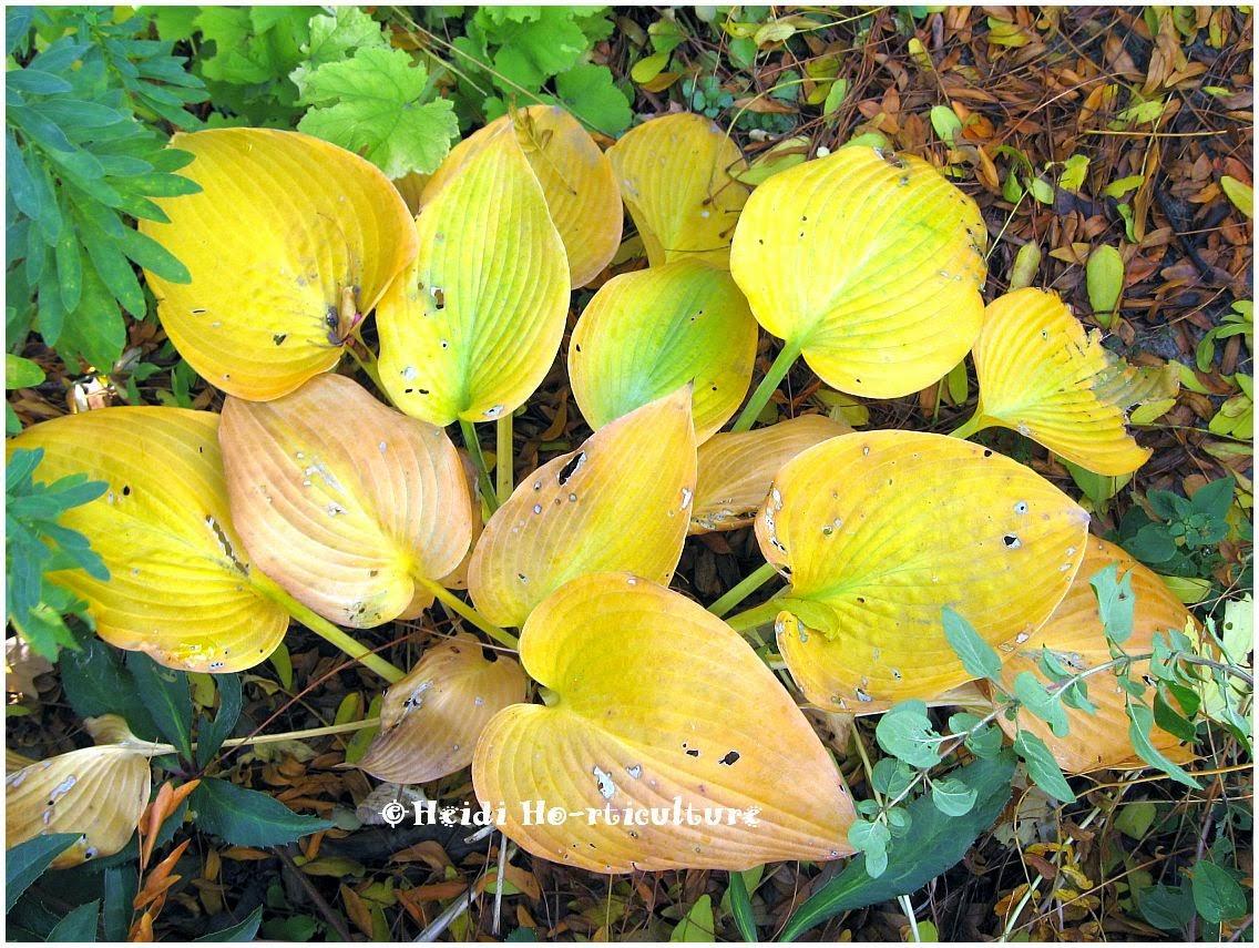 Heidi Horticulture Hostas Autumn Display