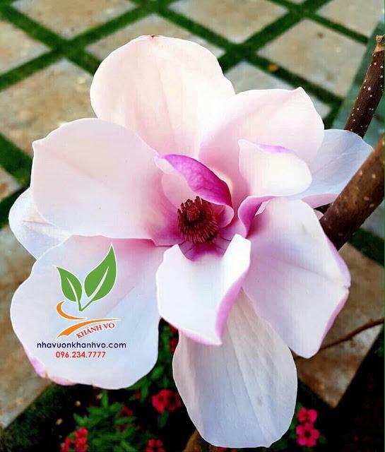 Hoa mộc lan, trang trí cho sân vườn trang nhã. 004037408ec36d9d34d2