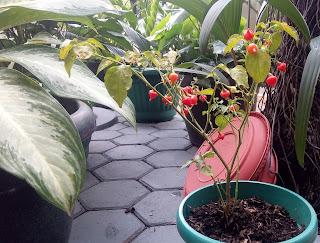 tanaman hias cabe brazil