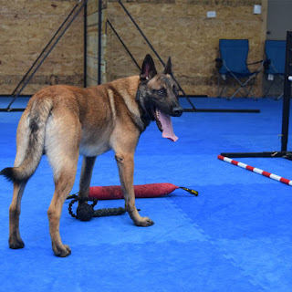 Greatmats Dog Agility Foam Tiles floor German Shepherd dog