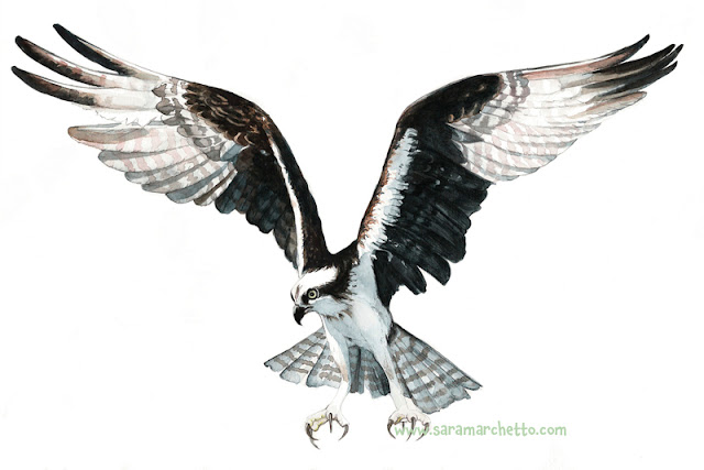 pandion haliaetus illustrazione