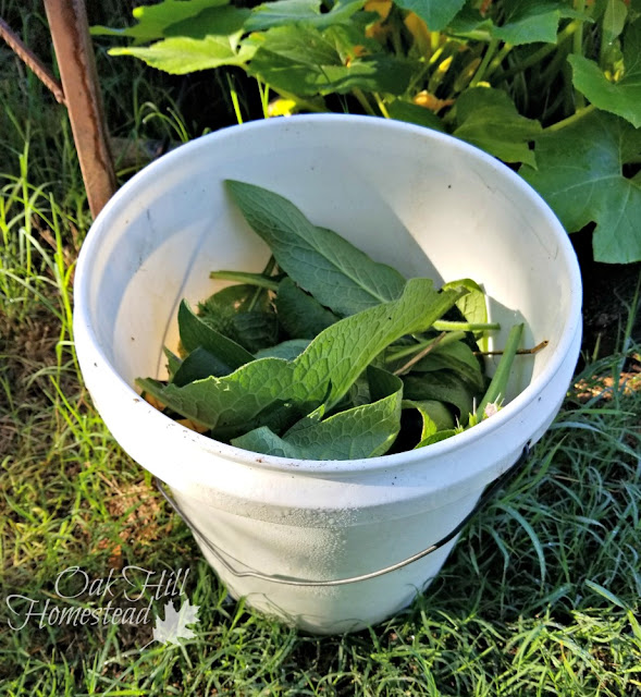 To make comfrey tea, fill a 5-gallon bucket about 3/4 full with comfrey leaves.
