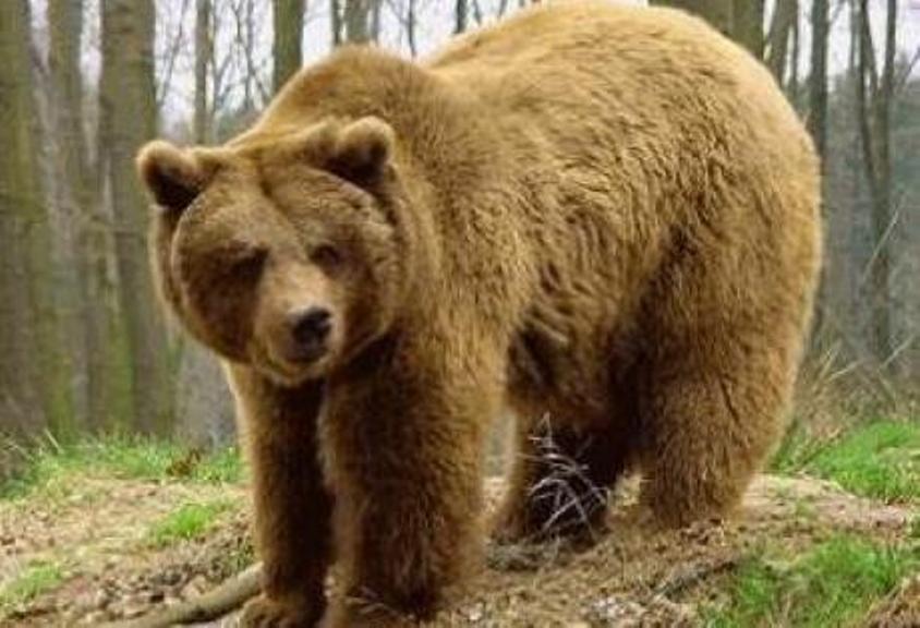 αρκούδα dating