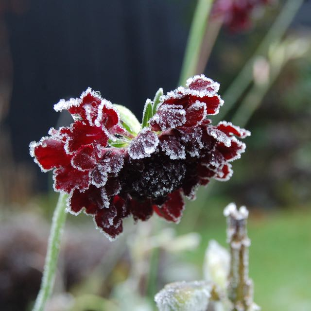 Scabiosa 'Red Velvet' Frozen Macro by Hetty