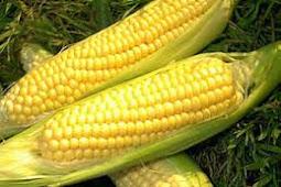 cara agar tongkol jagung besar