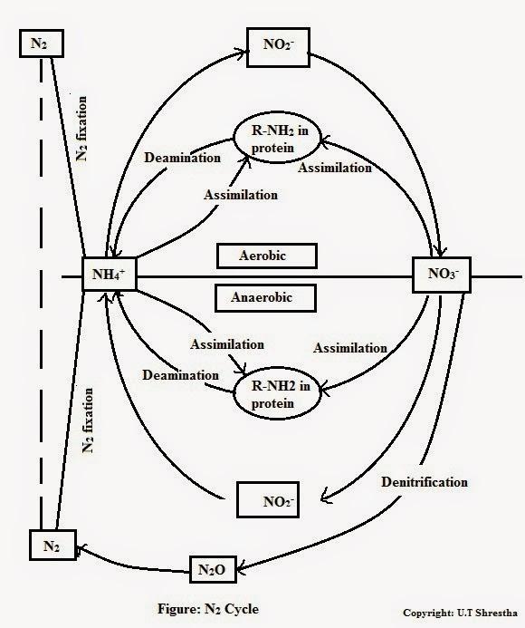 nitrogen cycle diagram in plants