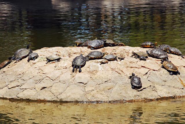 Tortugas - Terrapins - Parque Reina Sofia - Guardamar del Segura, Costa Blanca