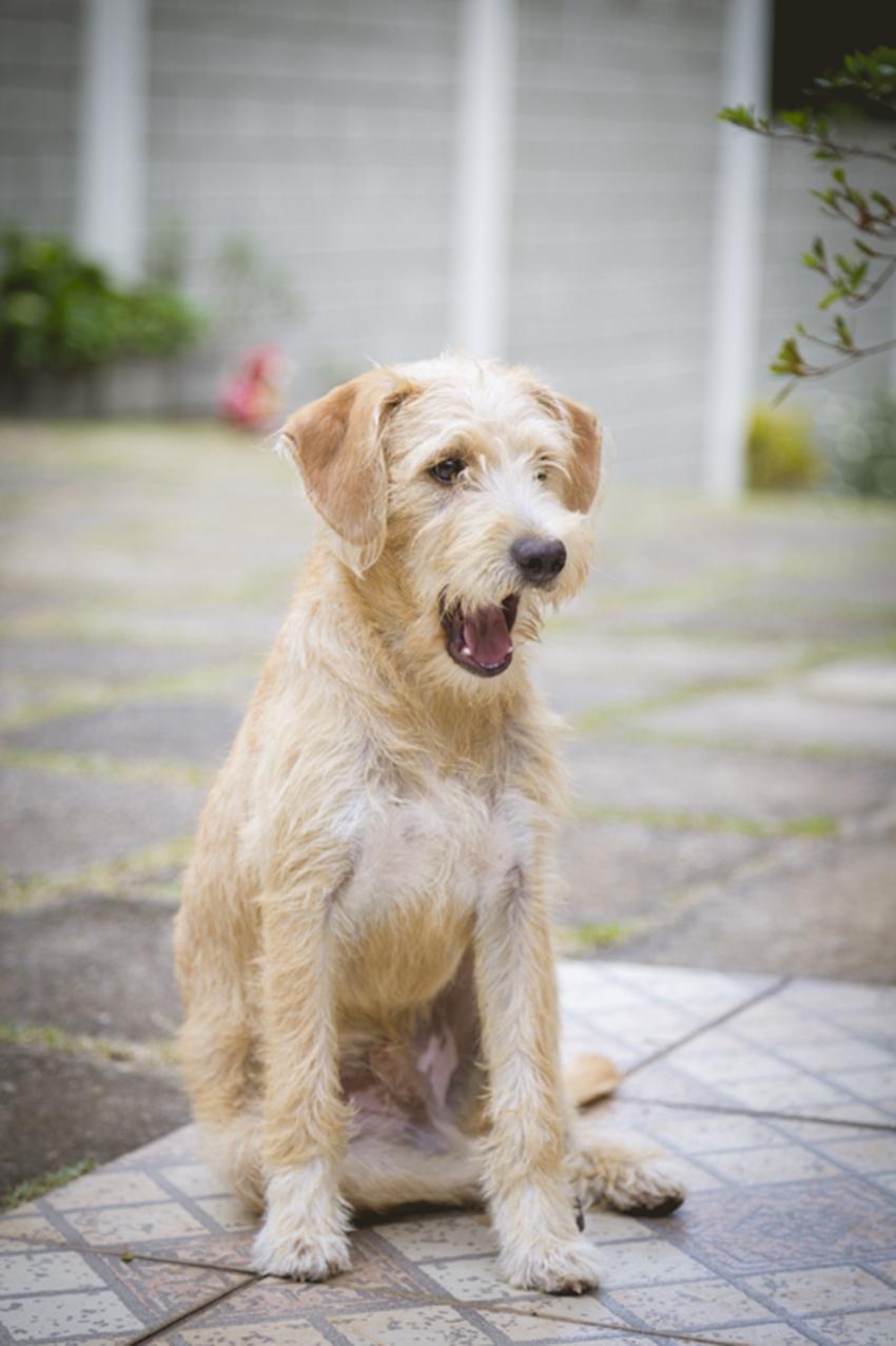 cachorro caramelo peludo
