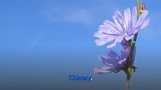 Chicory Originally used for its blood purifying property, this Native American herb is now used for treating indigestion and loss of appetite.