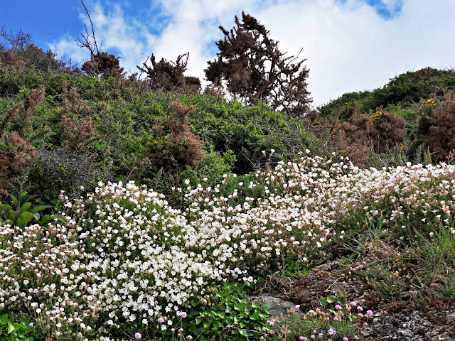 Wild flowers on cliffs, Cornwall